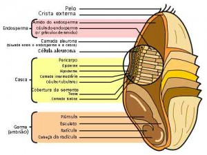 Anatomia-de-um-grão-de-trigo-300x225
