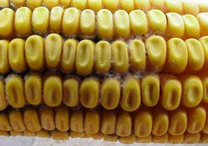 Imagem: http://www.uwex.edu/ces/crops/uwforage/Mycotoxins.htm