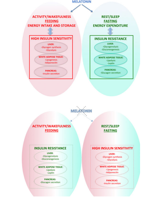 ciclo melatonina