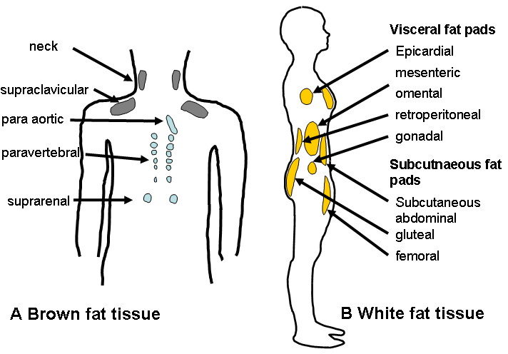 white-and-brown-fat
